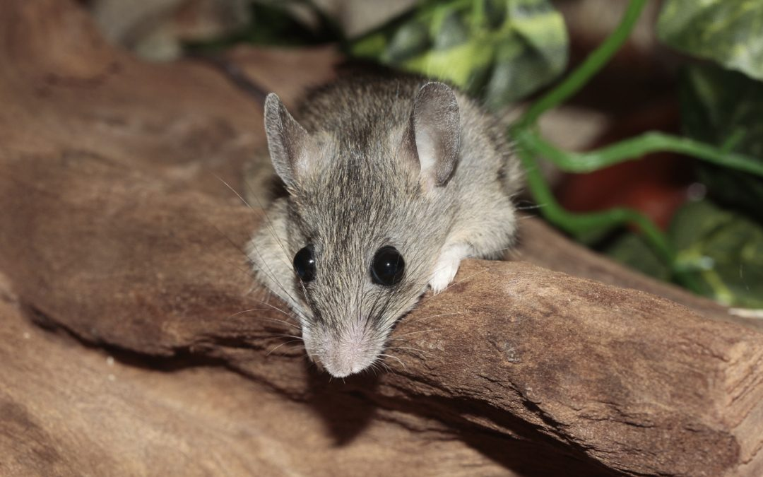 Get to Know the House Mouse