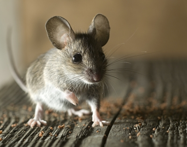 A Look at the Summer Habits of Mice