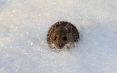 Winter Is Coming. And So Are the Mice