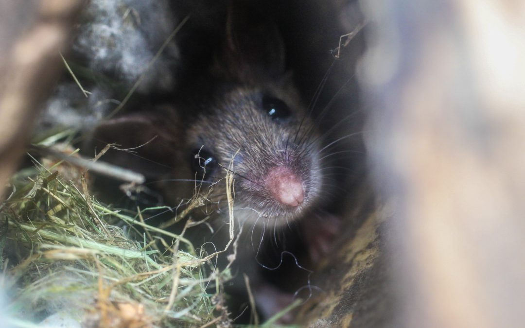 Are Mice Actually Dangerous?